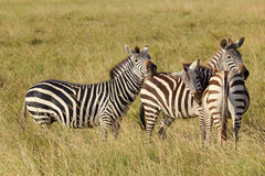 Group of common zebras Royalty Free Stock Image