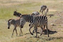 Group of common zebras Stock Photo