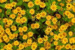 Group of yellow flowers in the flower garden royalty free stock photo