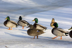 Group, a community of ducks, birds, males and females in the sno. Group, a community of ducks, birds, males and females on the white snow, Sunny day Stock Photos