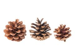 Group of cones of coniferous trees isolated on white background. Group of cones of coniferous trees isolated on white background Royalty Free Stock Photo