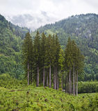 Group of conifer trees in mountain Stock Image