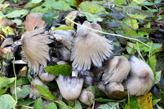 Group Coprinus comatus Stock Photography