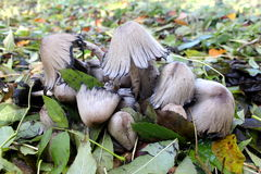 Group Coprinus comatus Royalty Free Stock Photos