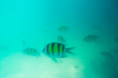 Group of coral fish in Andaman Sea Stock Photography