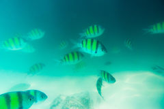 Group of coral fish in Andaman Sea Royalty Free Stock Photos
