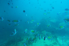 Group of coral fish in Andaman Sea Stock Image