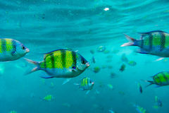 Group of coral fish in Andaman Sea Royalty Free Stock Photo