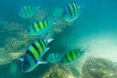 Group of coral fish in Andaman Sea Royalty Free Stock Image