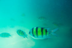Group of coral fish in Andaman Sea Stock Photo