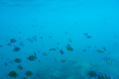 Group of coral fish in Andaman Sea Stock Images