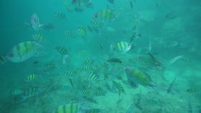 Group of coral fish in Andaman Sea stock video