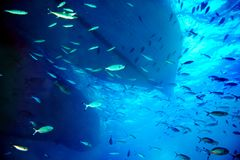 Coral fish in blue water. Royalty Free Stock Image
