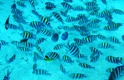 Group of coral fish in blue water.Red sea. Stock Photo