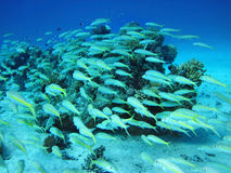 Group of coral fish  in water. Group of coral fish  in blue water Stock Images