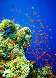 Group of coral fish  water. Group of coral fish  blue water Stock Photo
