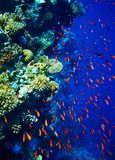Group of coral fish  water. Stock Photography