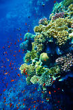 Group of coral fish  water. Stock Images