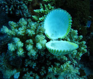 Group of coral and  seashell in blue water. Royalty Free Stock Photography