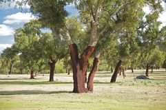 Group of cork trees Stock Photography