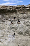 Group of cormorants at a cliff near Puerto Madryn Stock Images