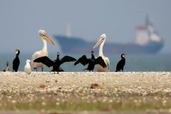 A group of cormorants and Dalmatian pelicans stand on the sand stock photo