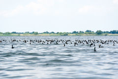 Group of cormorants phalacrocorax carbo in the water Royalty Free Stock Photos