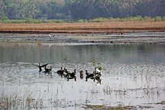 Group of Cormorants on Wetland Stock Images
