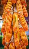 Group corn dry for harvest background Stock Photo