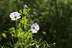 Group of Cosmos Bipinnatus - Mexican Aster Royalty Free Stock Photo