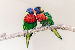 Free Group Couple Of Two Cute Colorful Little Lorikeet Parrots Kissing. Beautiful Wild Tropical Animals Birds Sitting On A Tree Branch Stock Photo - 175087290