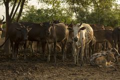 Group of cow in cowshed with beautiful sunset scene. Cows in the stock image