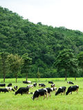 Group of cow eating grass Royalty Free Stock Photos
