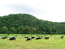 Group of cow eating grass Royalty Free Stock Image