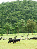 Group of cow eating grass Royalty Free Stock Photography