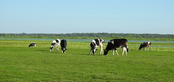 Cow animals in flood field, Lithuania Stock Images