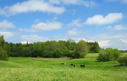 Group cow in meadow in summer, Lithuania Stock Photos