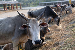 A group of cow resting in a field Royalty Free Stock Images