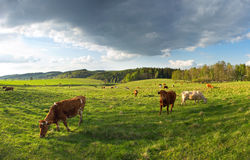Group of cows Stock Photography