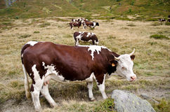 Group of cows Royalty Free Stock Photos