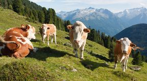 Group of cows (bos primigenius taurus). In alps on pasture stock photography