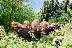 Group of cows at Bre over Lugano Stock Images