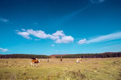 A group of cows in the countryside field stock photo