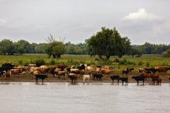 Group of cows Stock Photos