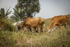A group of cows is eating a grass. A group of cows eating grass on a hill, photo taken in the city of Bekasi - Indonesia Stock Images