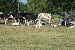 Group of cows. Farm animals, group of cows Stock Photo