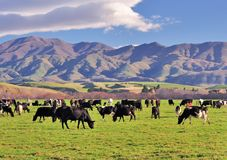 Herd of Cows in a Field. Group of Cows in a Field Grazing Grass in New Zealand royalty free stock photos