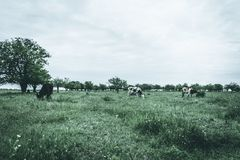 Group of cows in a field, rural landscape photography. Moody effect Royalty Free Stock Photos