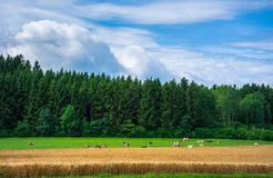 Group of cows on a grass meadow at the countryside of Netherland. Group of cows on a grass meadow at the countryside of Netherland with forest Royalty Free Stock Images