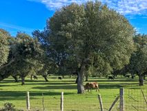 A group of cows grazin in the pasture with holm oaks and a fence and blue cloudy sky in Spain. A group of cows grazin in the pasture with holm oaks and blue Stock Image